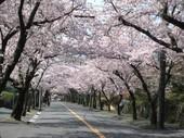 桜並木4_JALAN_160407.jpg