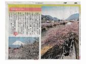 河津桜まつり_JALAN_180204.jpg