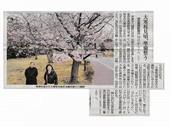 大寒桜見頃_JALAN_180308.jpg