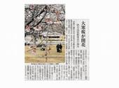 大寒桜_JALAN_180228.jpg